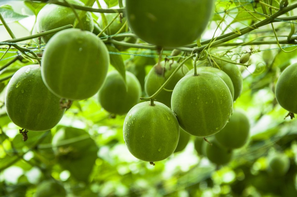 Monk Fruit Nature S Best Alternative To Sugar Organic