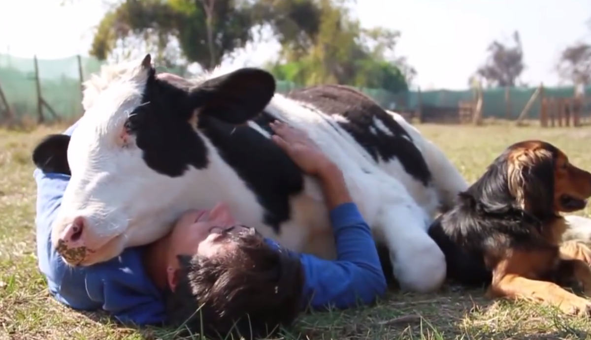 Adorable Rescued Cow Pays for His Freedom With Cuddles [Video]
