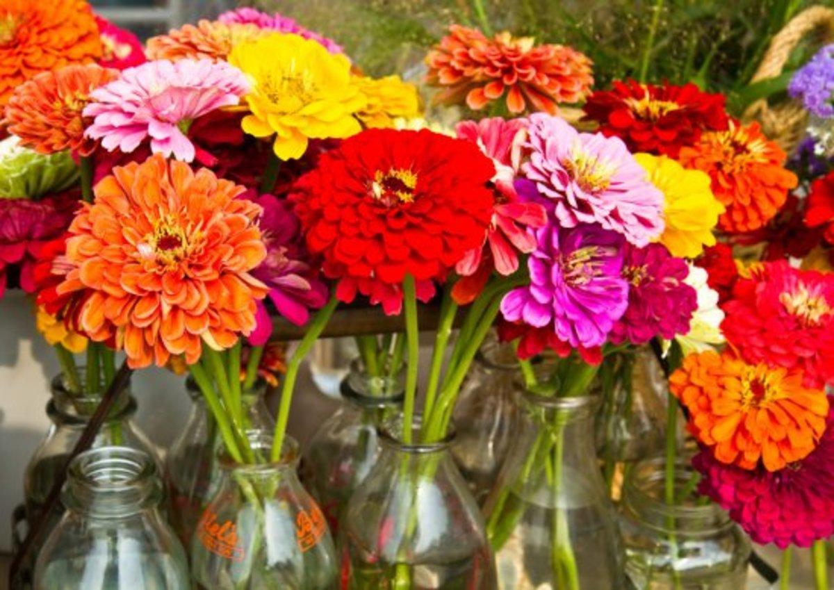 cut flowers, zinnias