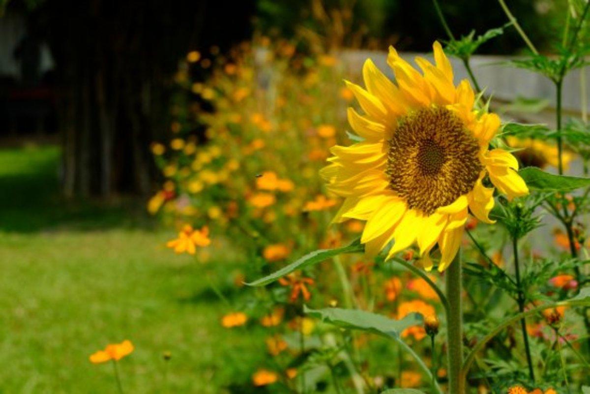 cut flowers, sunflower