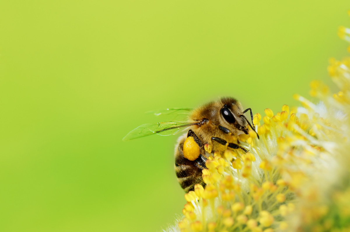 New Bee Vectoring Technology Saves the Bees – and Puts them to Work