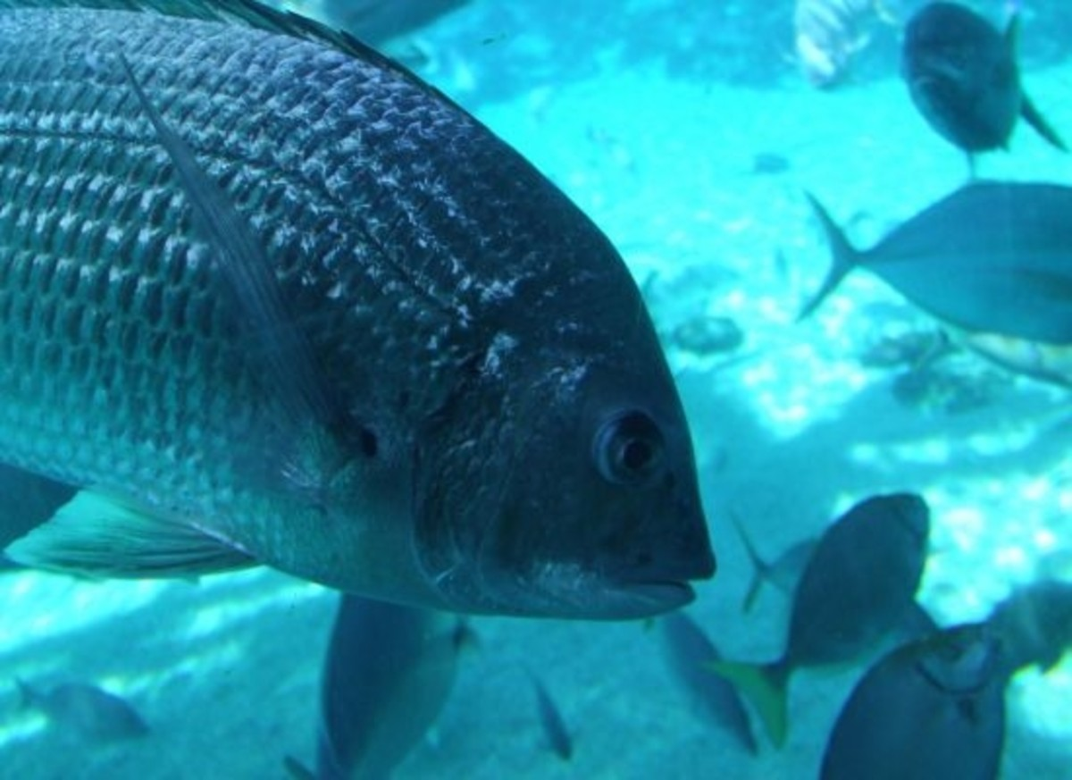 Monterey Bay Aquarium's Seafood Watch iPhone App helps consumers find sustainable seafood