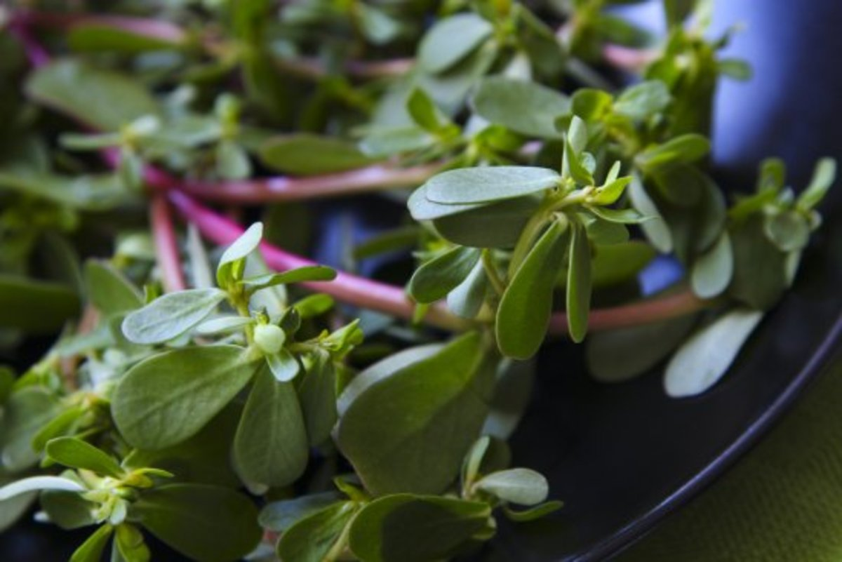 edible weeds, purslane