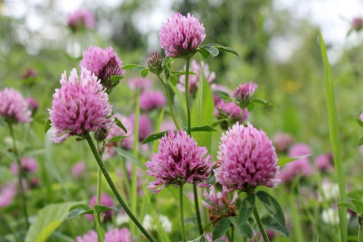 edible weeds, red clover