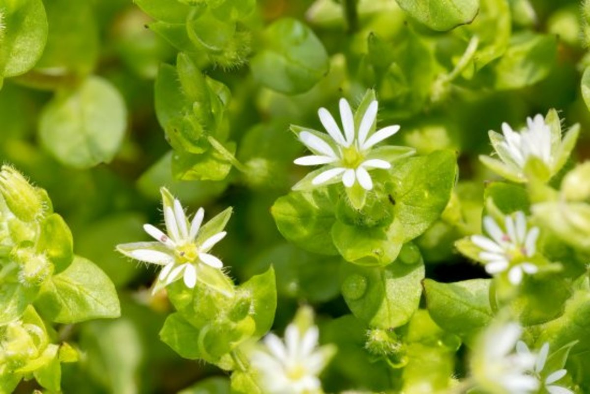 edible weeds. chickweed