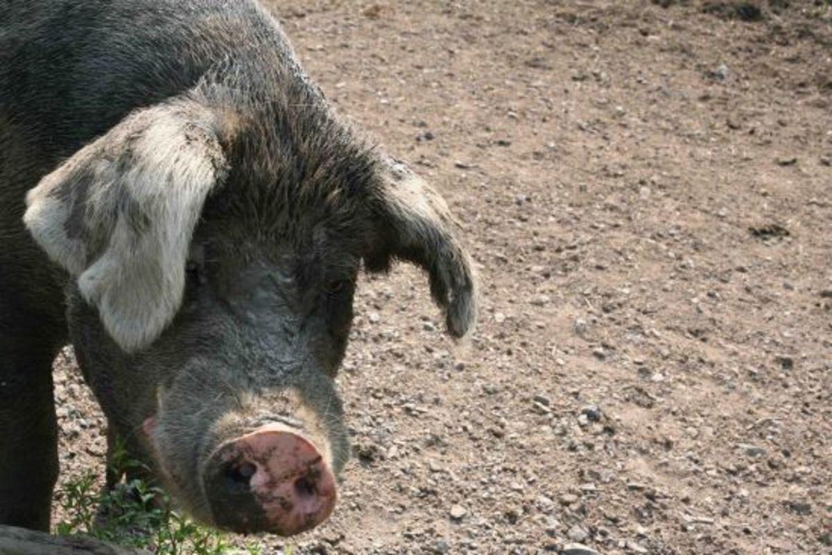 piggy-jillslibrary-jillettinger1