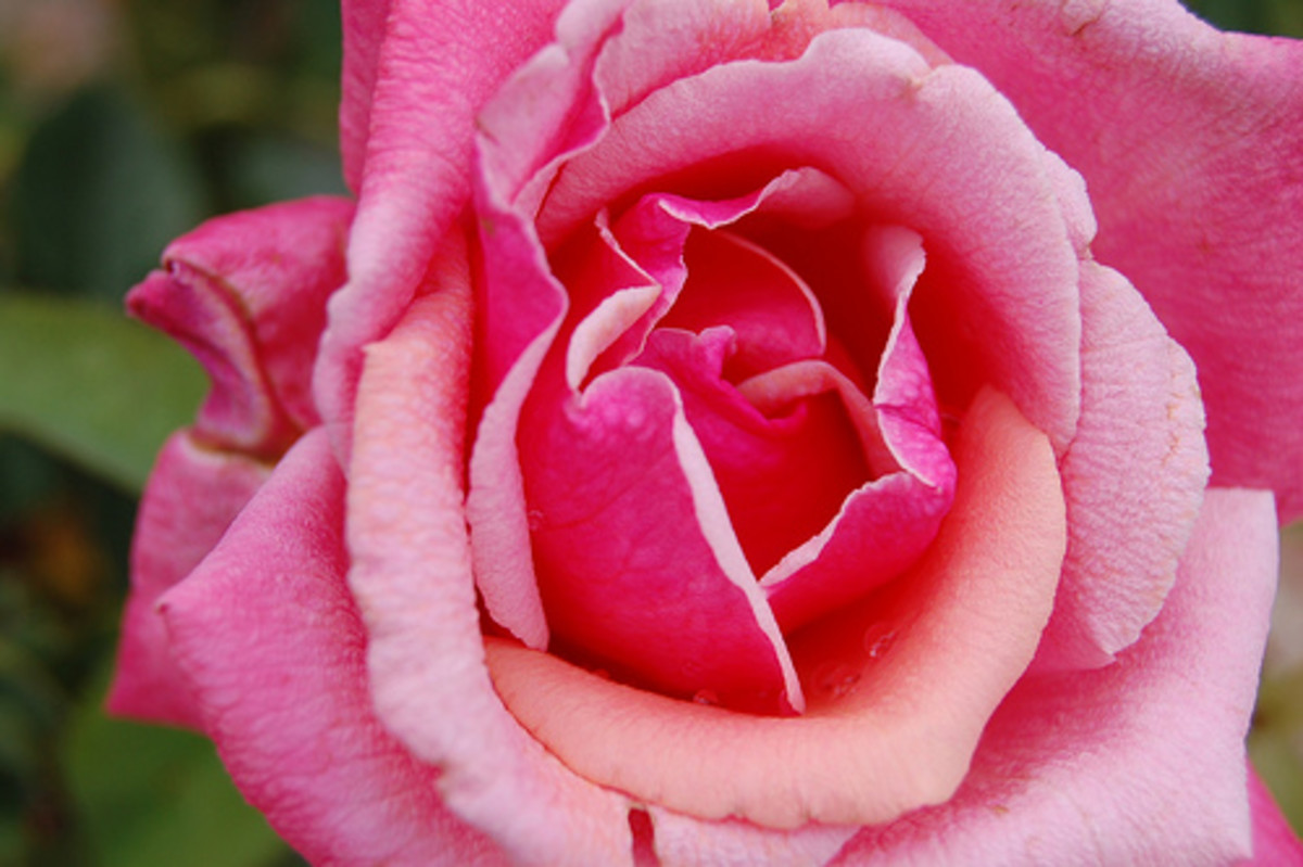 skin benefits of roses