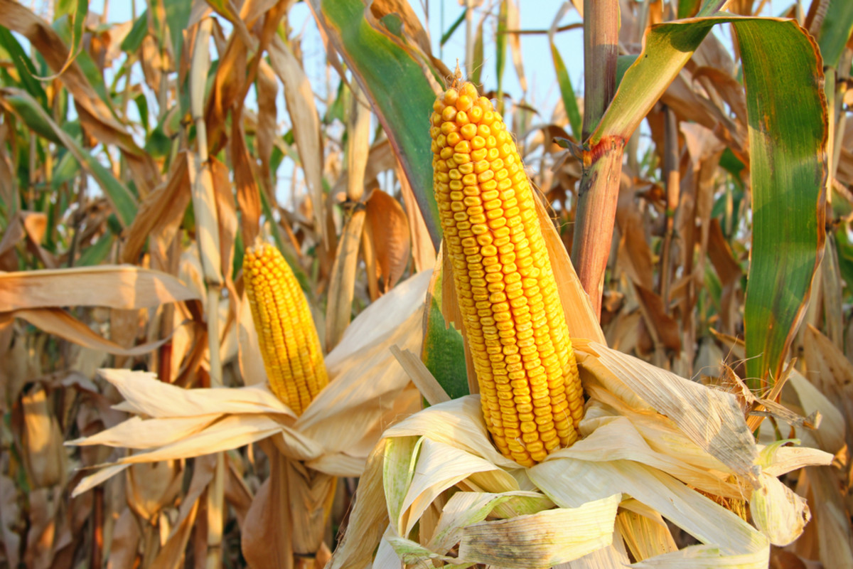 Hiding the Truth About GMO Corn? Controversial Study Disappears after Just One Day Online