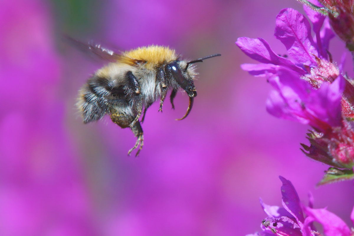 bumblebees are now endangered species