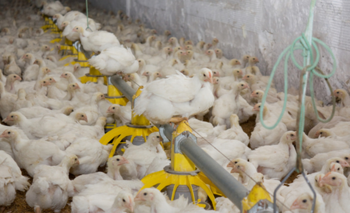 Poultry Industry Prepares to Fight Bird Flu with Controversial Vaccine