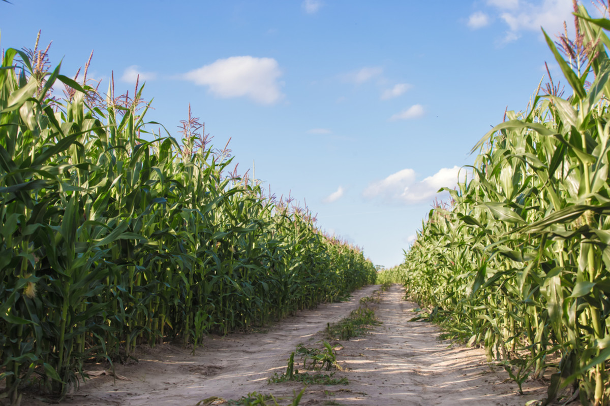 Purdue's Claims that Non-GMO Foods are More Expensive to Farm are Bogus