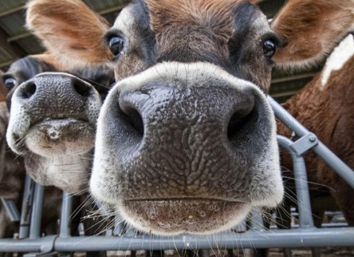 cow-ccflcr-Bob-Jagendorf