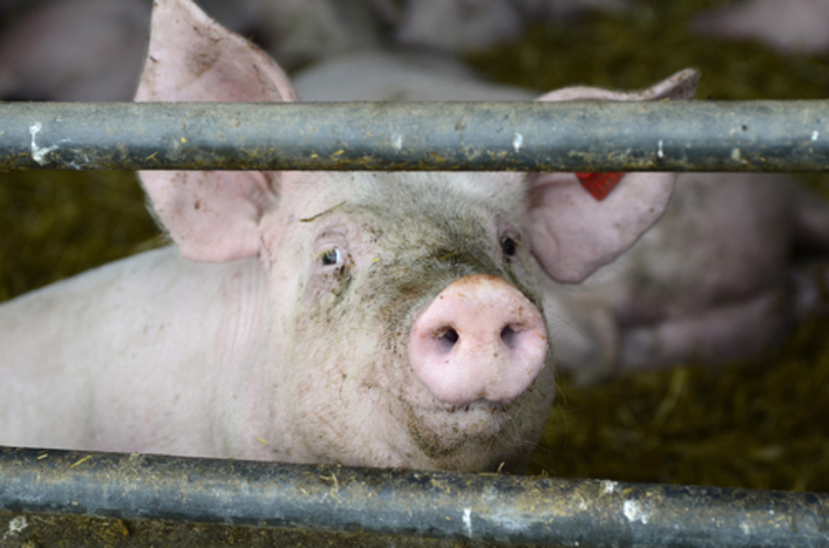 EPA is Failing to Regulate Air Pollution from Factory Farms, Lawsuit Says
