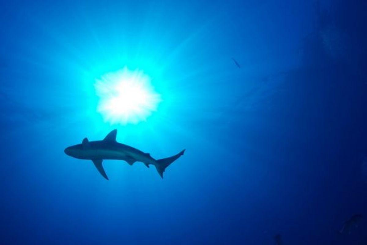 shark-ccflcr-USFWS