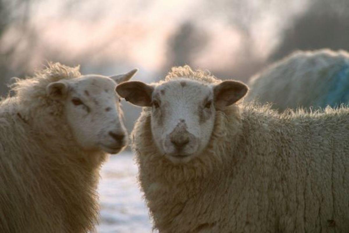 sheepclones-ccflcr-jamesbowe1