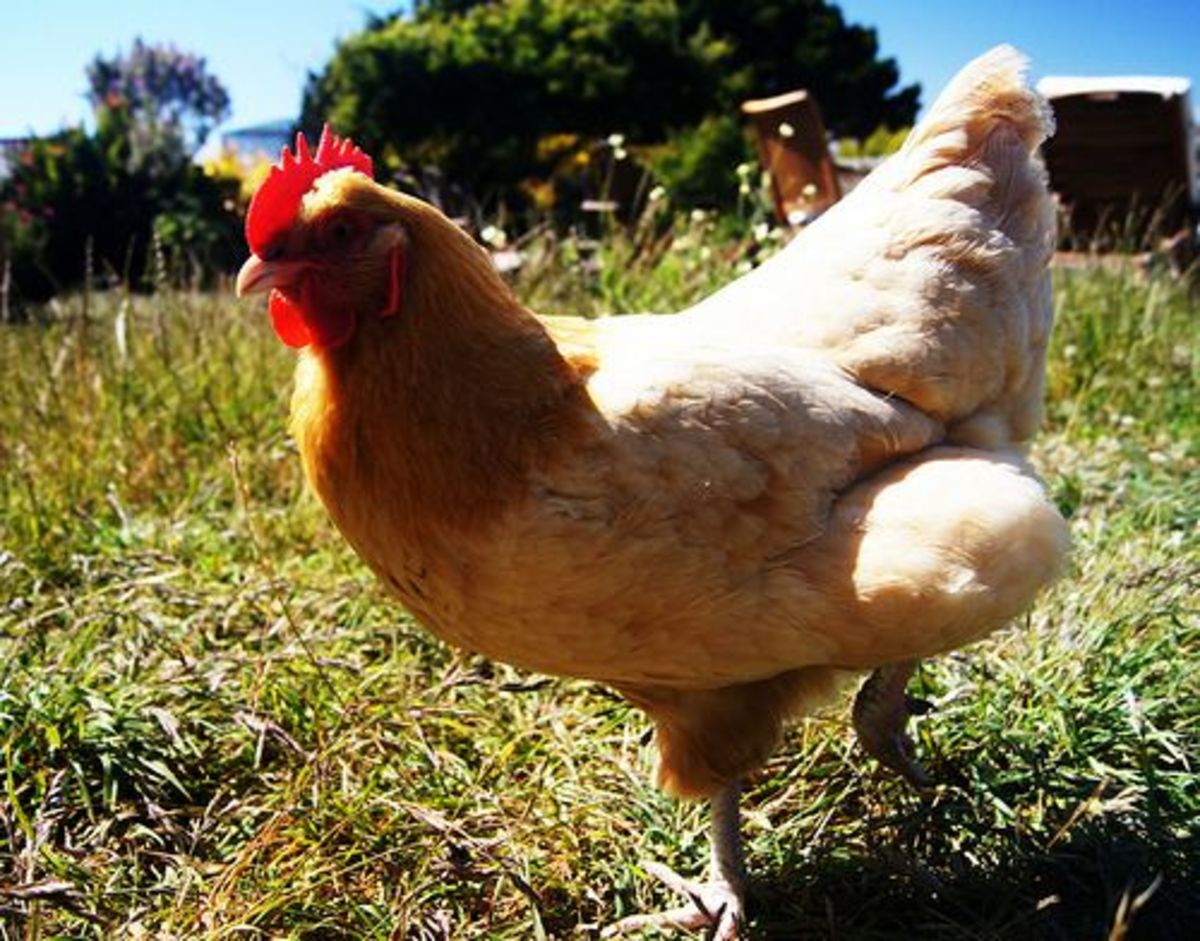 chicken-ccflcr-SMcGarnigle