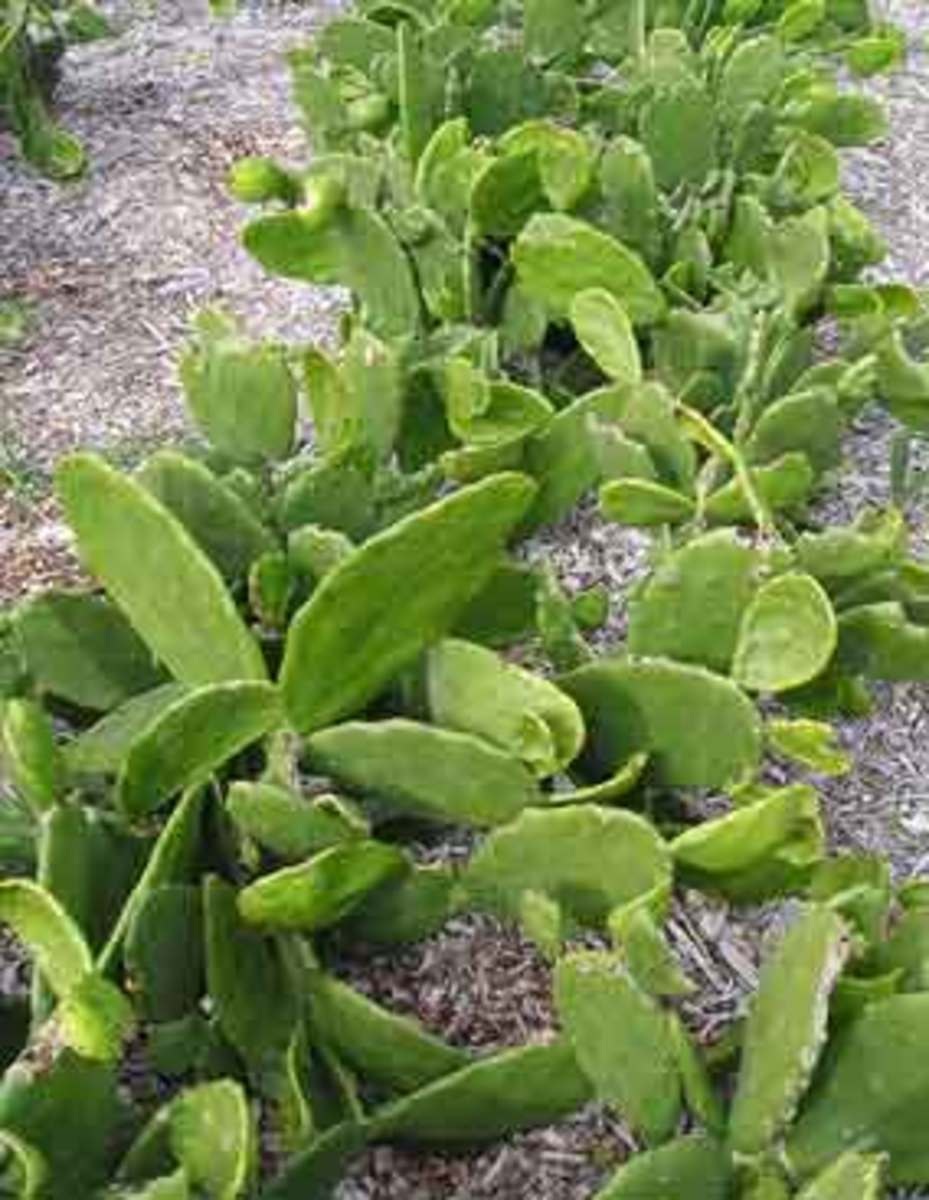 organic cactus
