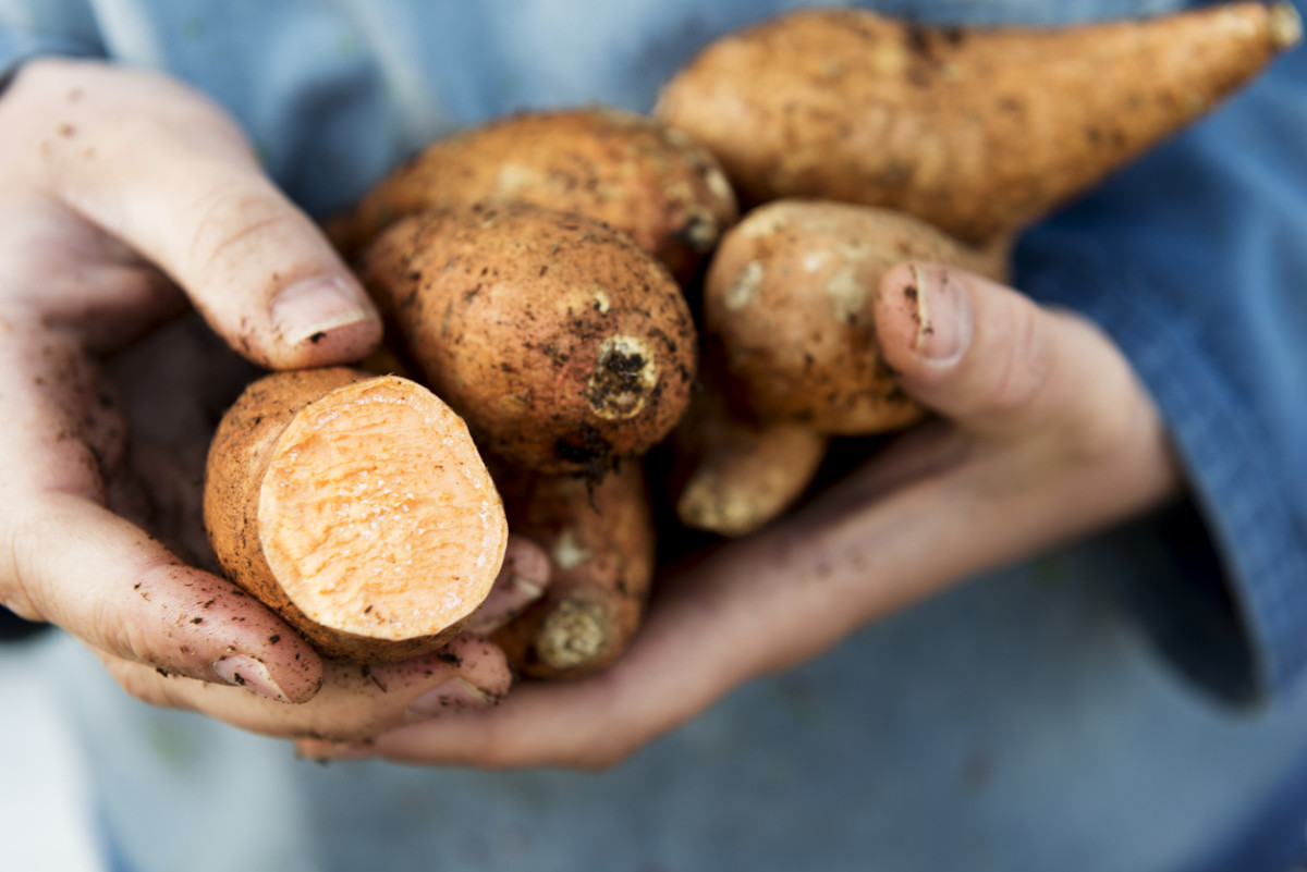 Organic Sweet Potato Sales Growing Like Weeds