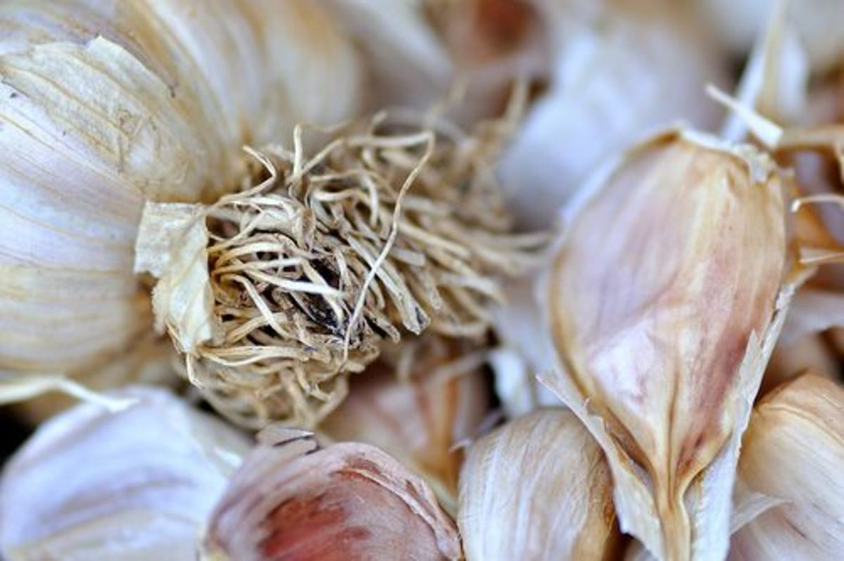 garlic treats yeast infection