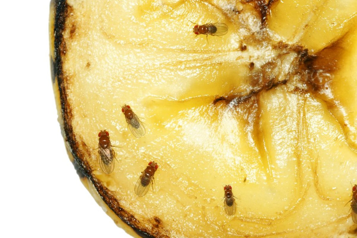 How To Get Rid Of Fruit Flies Now