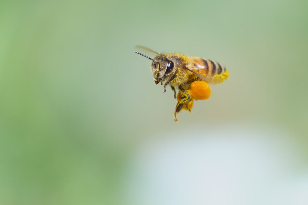 EPA Protecting Honeybees With Major 'Pesticide-Free Zones' Across U.S.