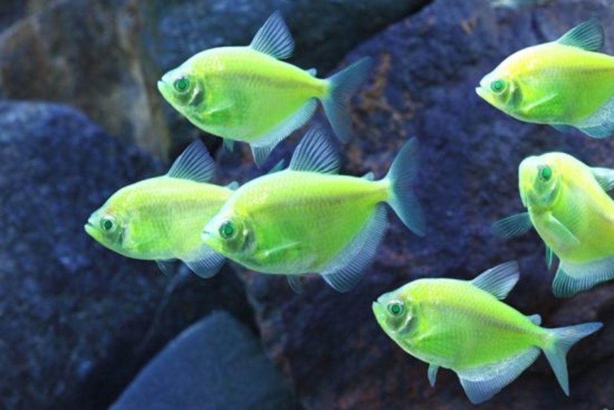 glofish-glofish-glofish
