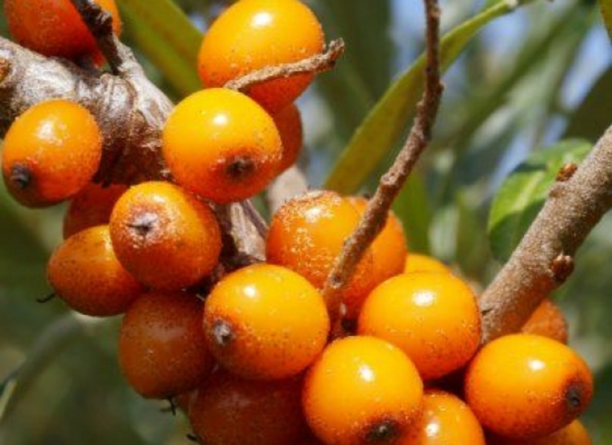 seabuckthorn-facebook-seabuckthorn