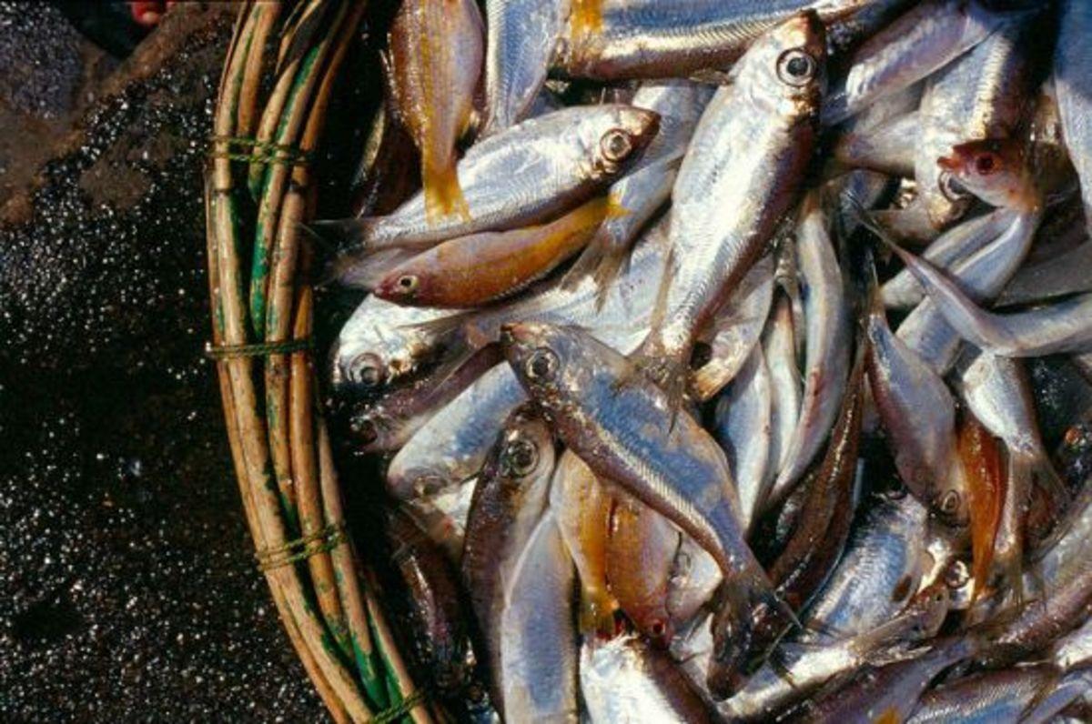 fish-ccflcr-DMahendra