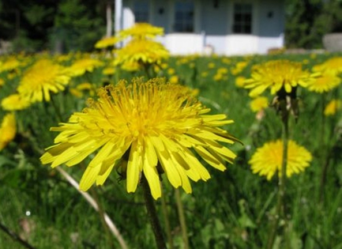 dandelions-ccflcr-leoseta-