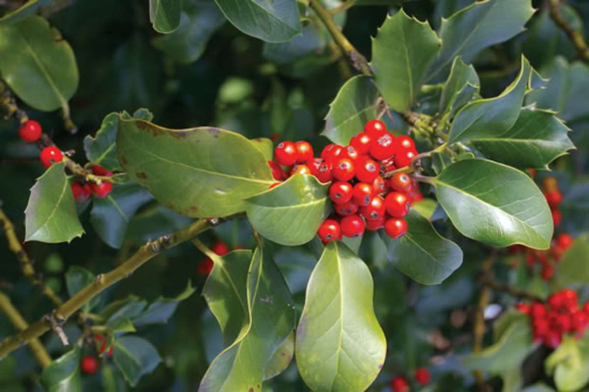 Holly berries on a Holly bush in early Winter.