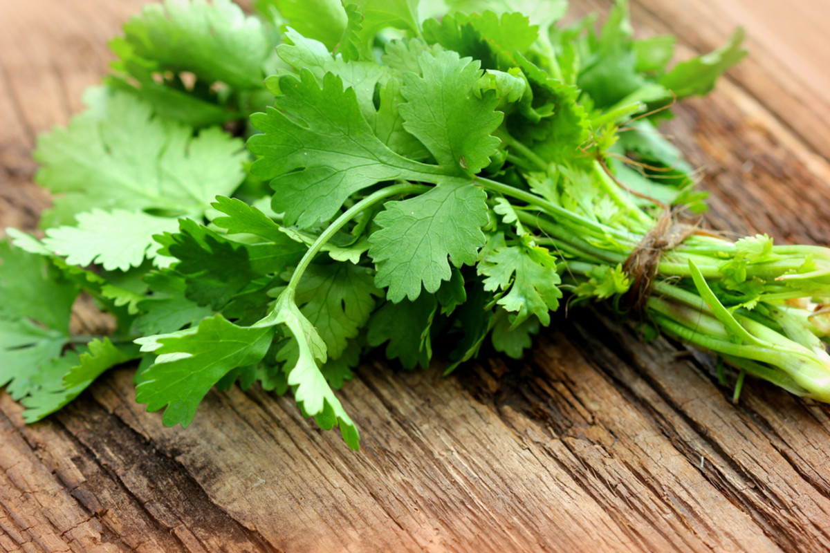 growing cilantro by throwing shade