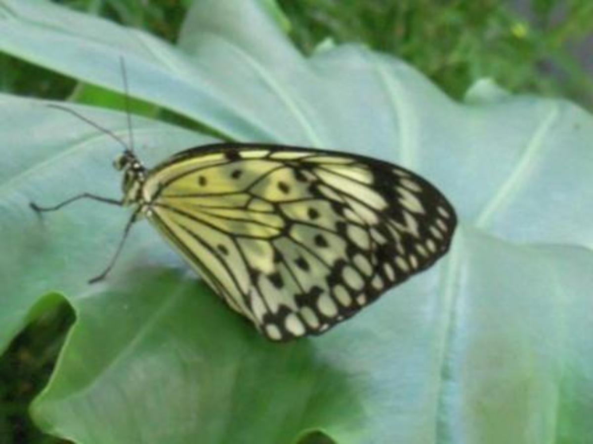 butterfly-pic1