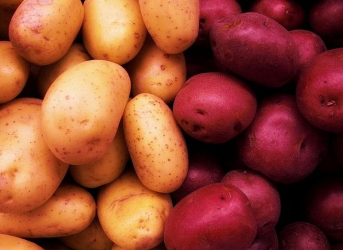 Two new potato varieties have been created at Cornell University