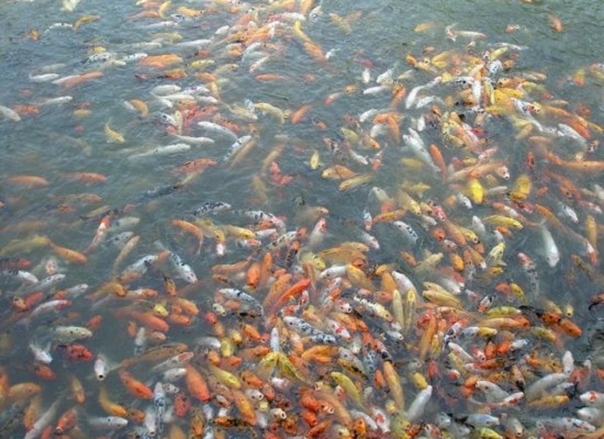 feedingfish-ccflcr-tsechuen261