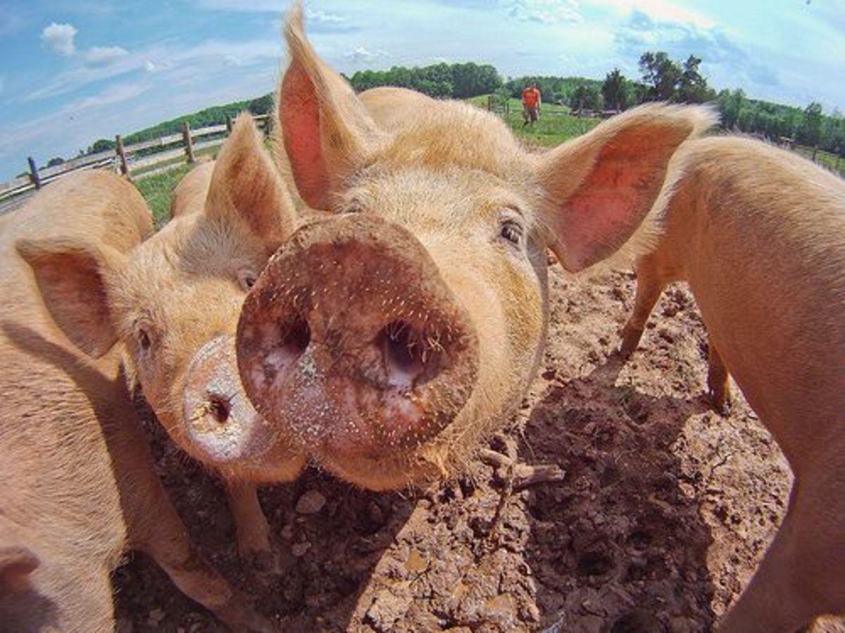 usdagov_pigs