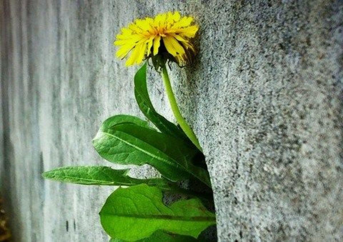 dandelions-ccflcr-gmt9