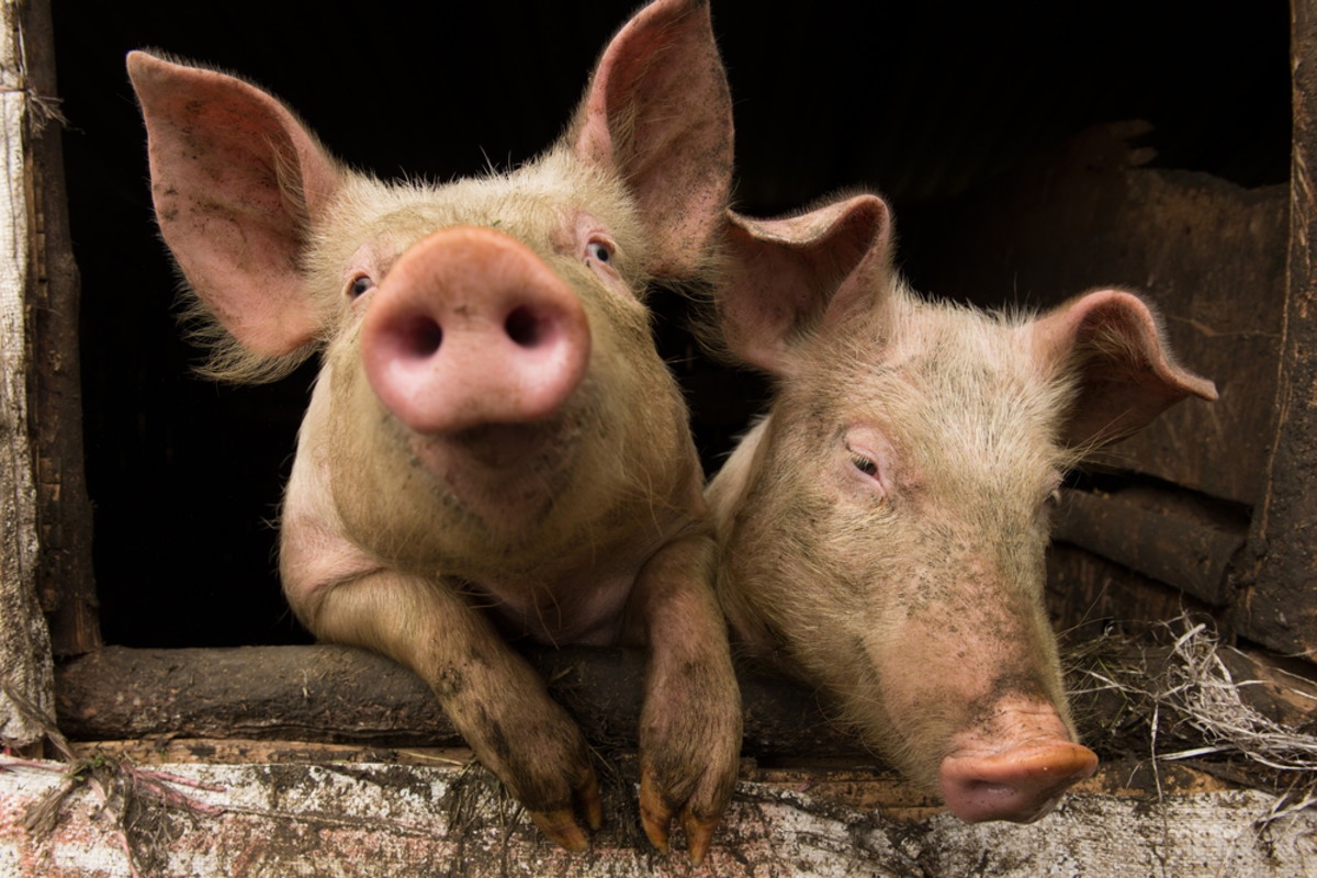 Bringing Home the (Genetically Modified) Bacon: After GMO Salmon, Is GMO Pork Next?