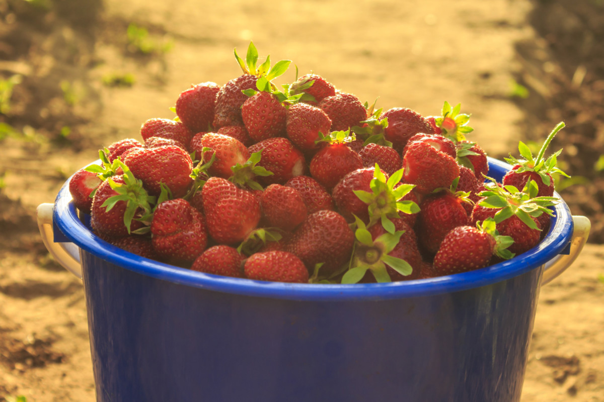 Whole Foods to Pioneer Fair Food Program Strawberries