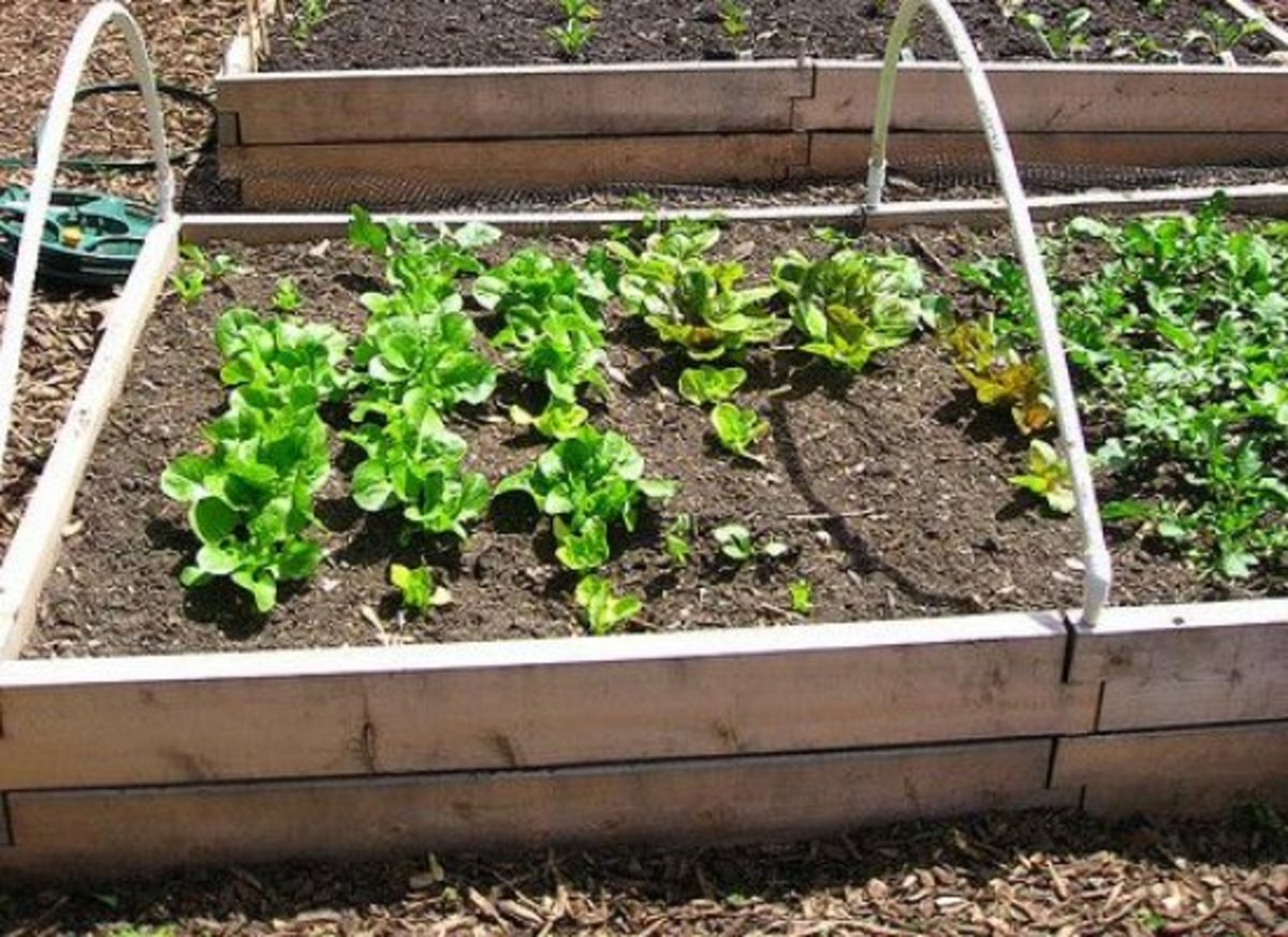 is a raised bed better for your vegetable garden than the ground?