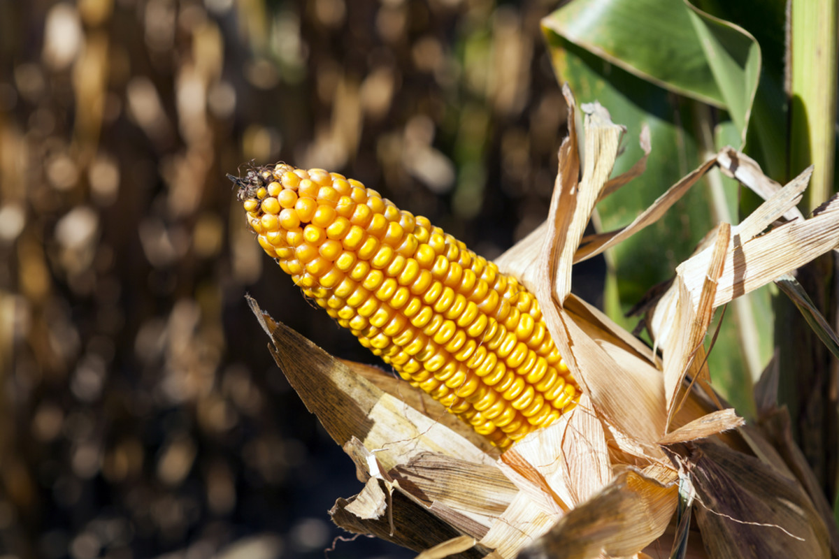 Big Corn and Big Sugar Face Off in Court