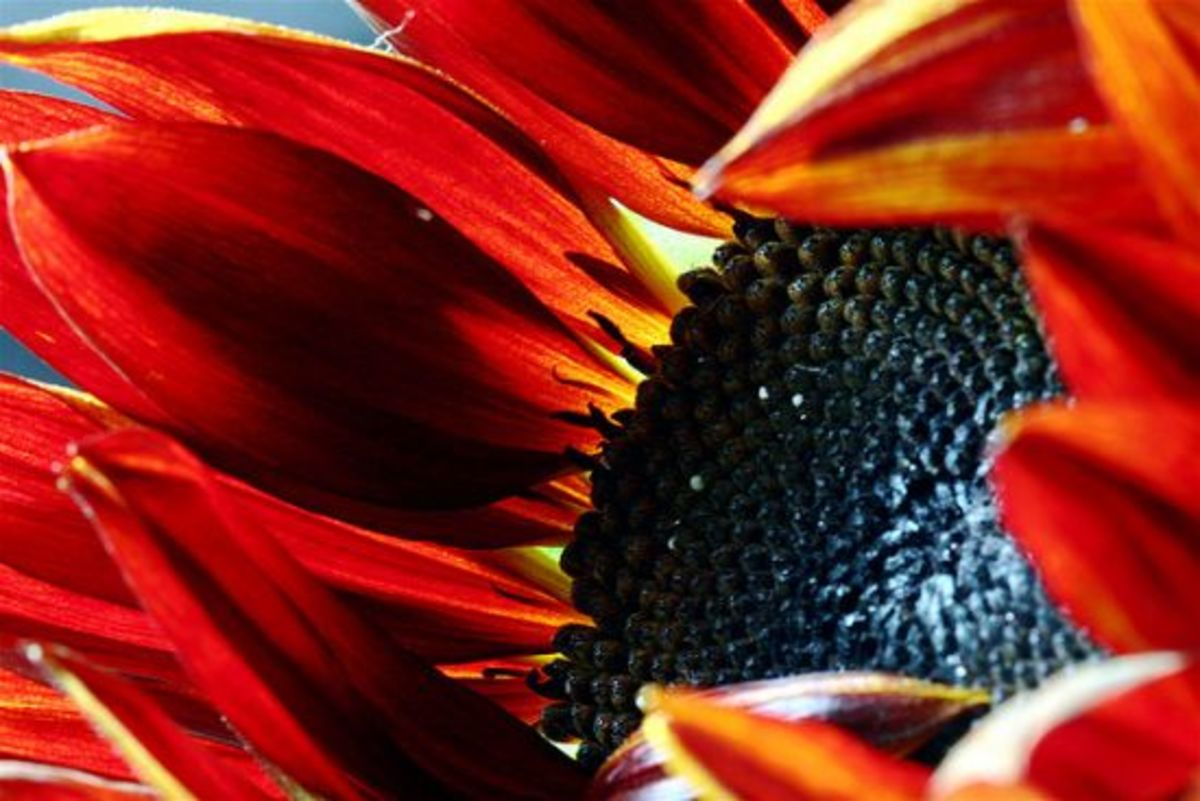 sunflower-ccflcr-stephcarter