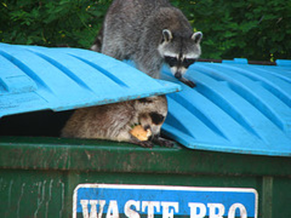 Racoons eating the food that humans didn't.