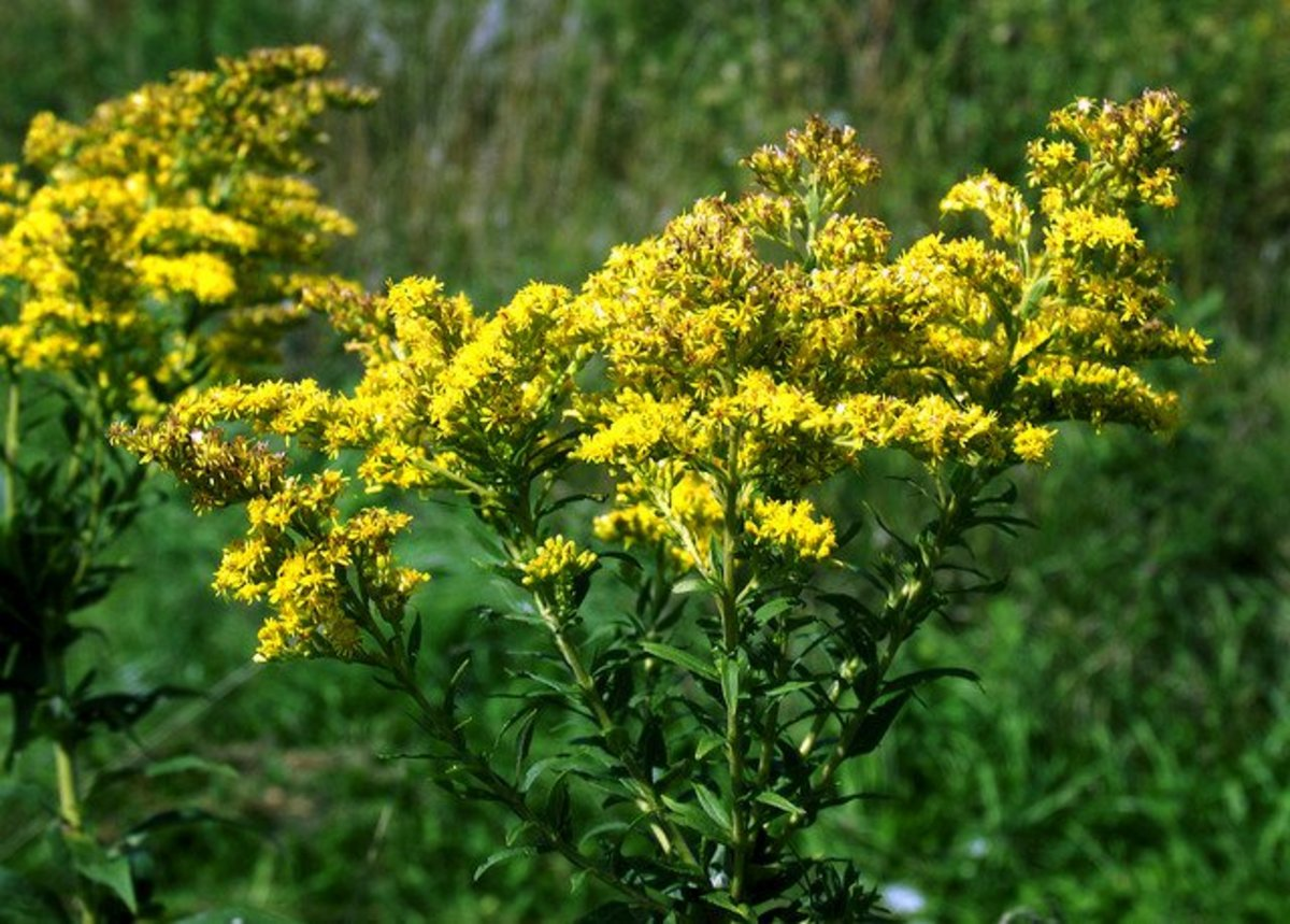 plants that attract butterflies goldenrod