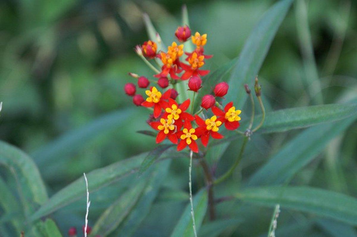 plants that attract butterflies blood flower