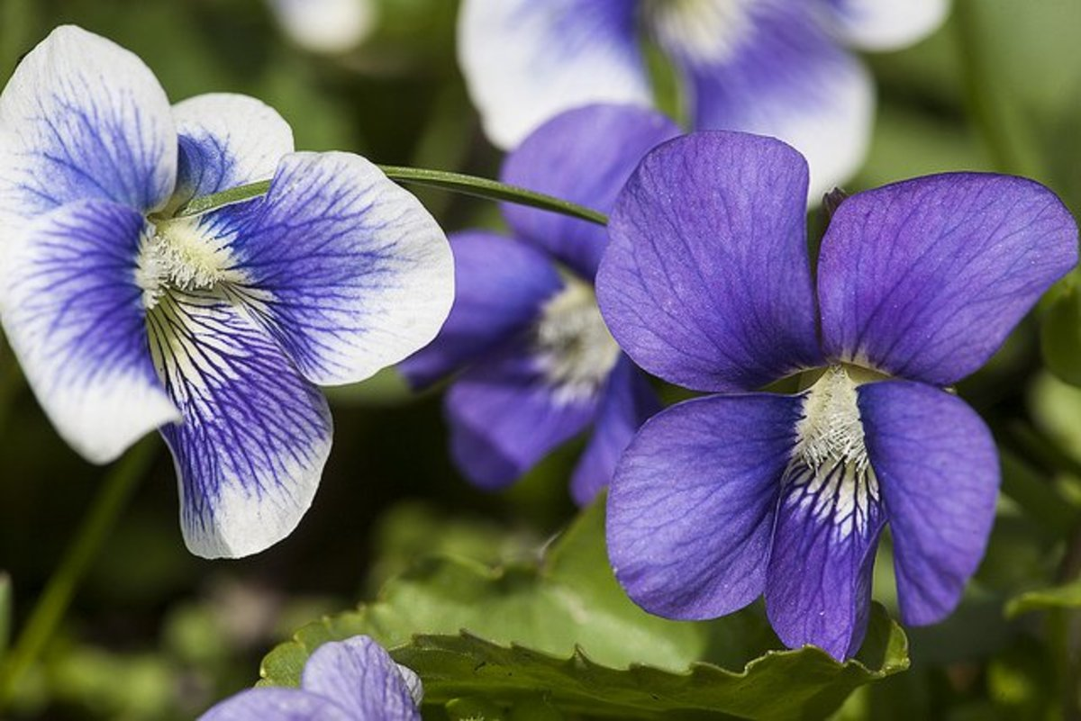 plants that attract butterflies violets