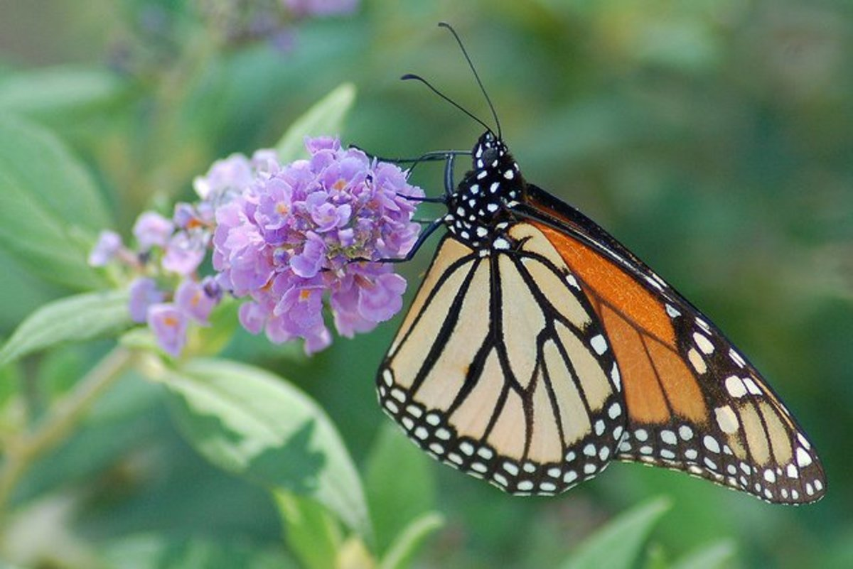 plants that attract butterflies butterfly bush