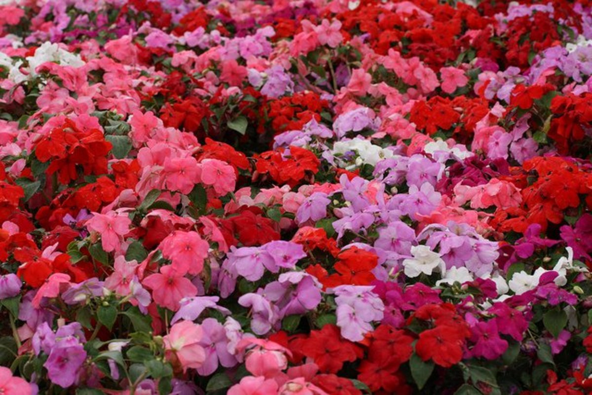 plants that attract butterflies impatiens