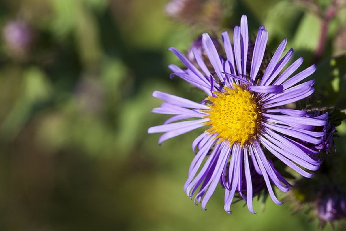 plants that attract butterflies aster