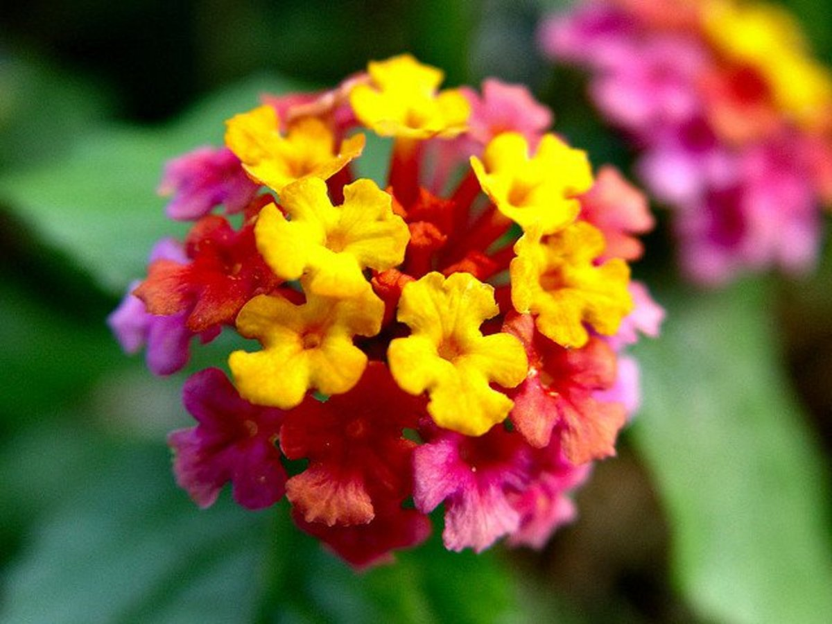 plants that attract butterflies latana