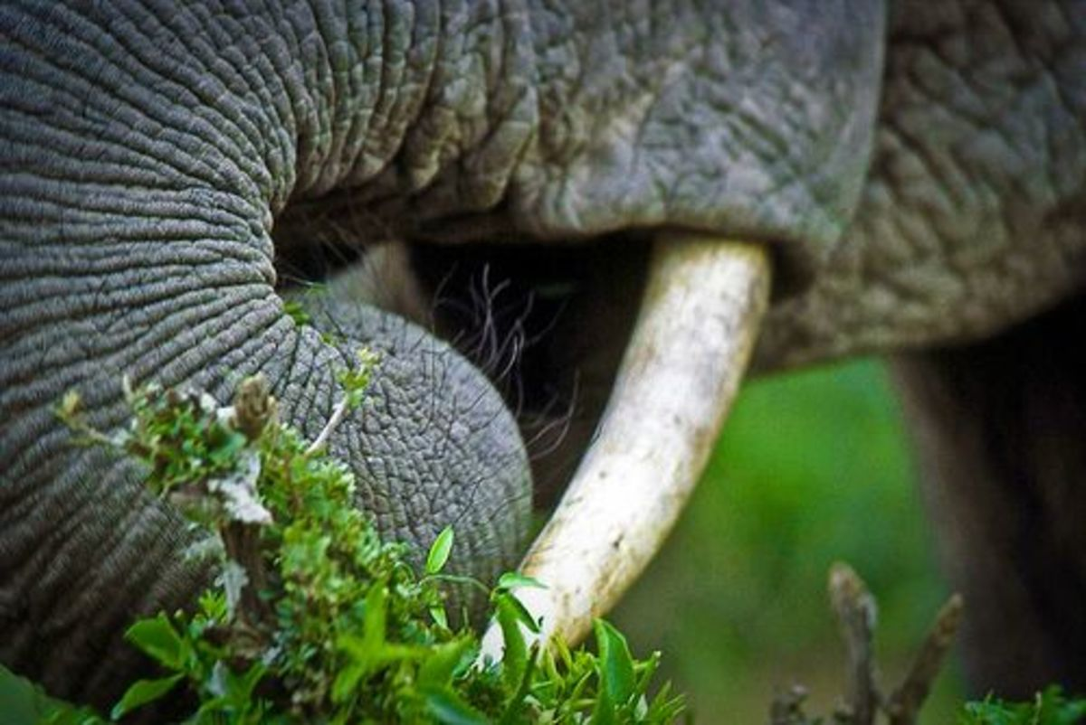 vegetarian_elephant